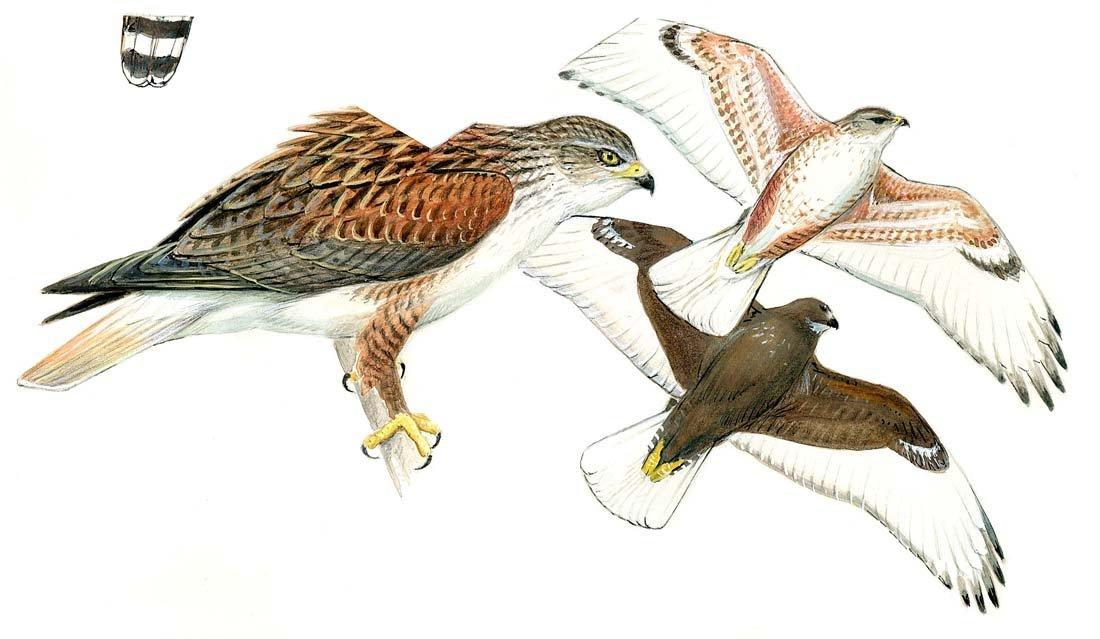 7: Ferruginous Hawk