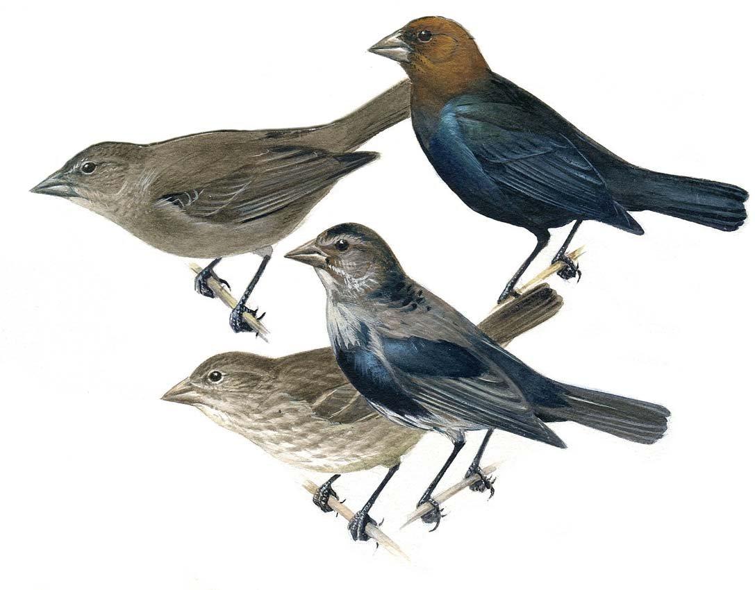 8: Cowbird