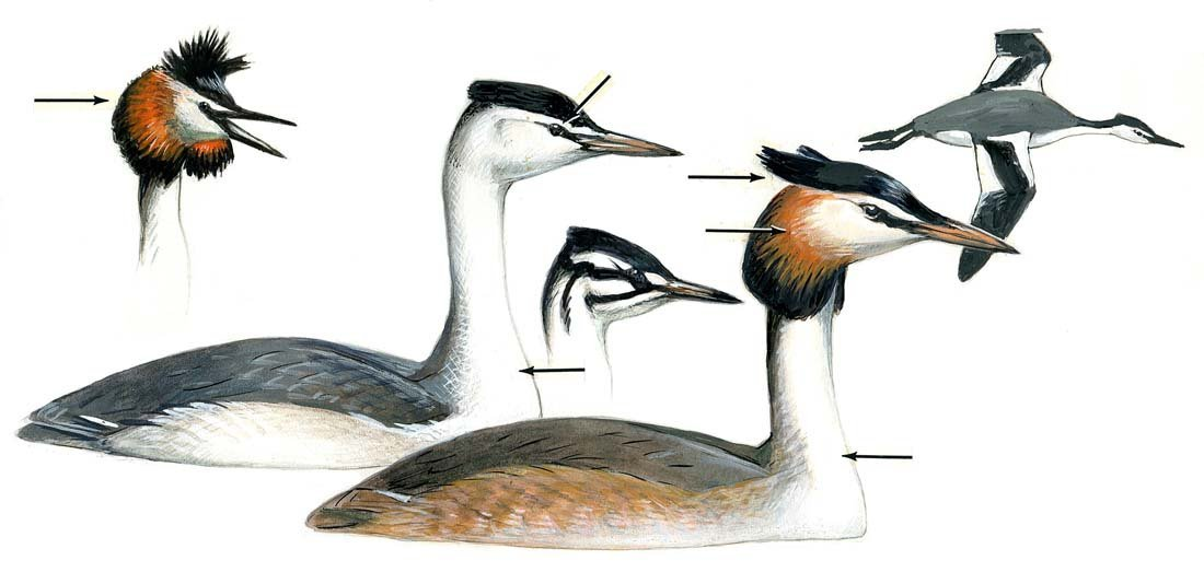 9: Loon, Egret, Possibly Grebe or Diver