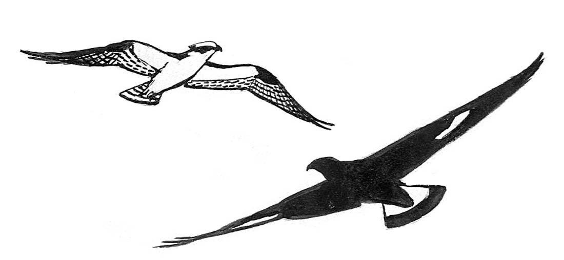 16: Swallows, Duck, Osprey, Wing Studies