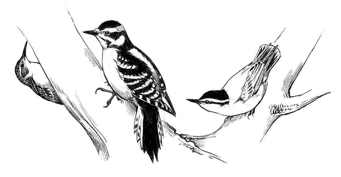 13B: Drawings from Eastern Field Guide, 1980