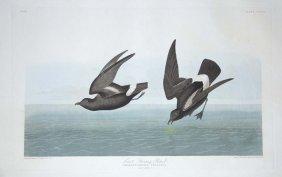 4: John James Audubon, Plate 340: Least Stormy Petrel