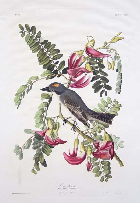 7: John James Audubon, Plate 170: Gray Tyrant