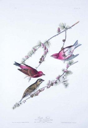 10: John James Audubon, Plate 4: Purple Finch