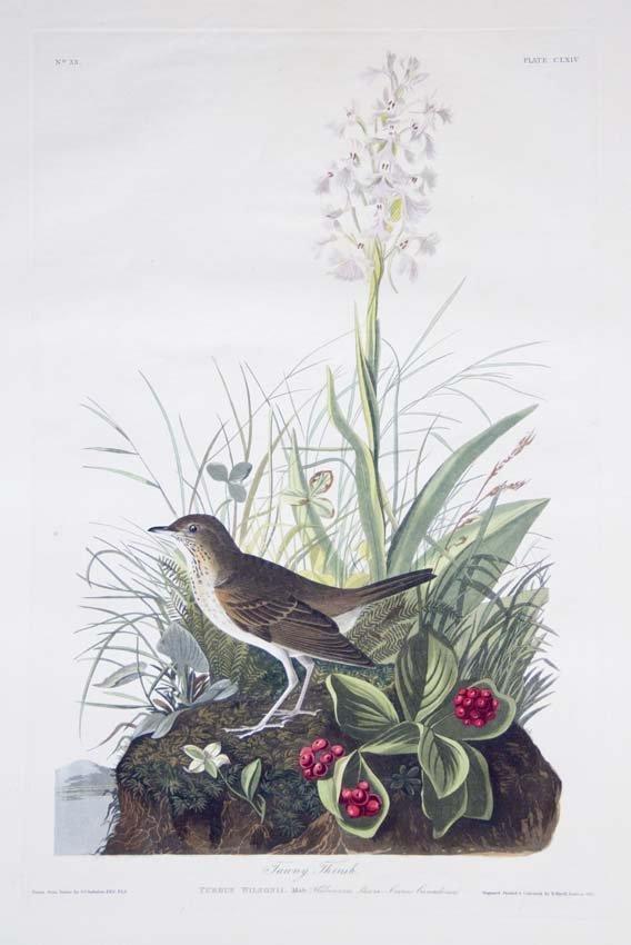 12: John James Audubon, Plate 164: Tawny Thrush