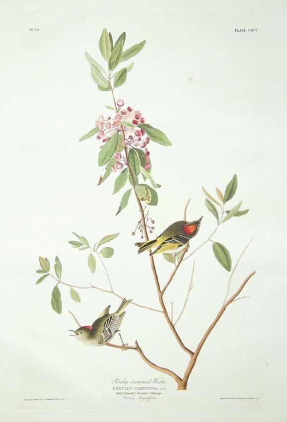 13: John James Audubon, Plate 195: Ruby Crowned Wren