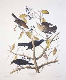 John James Audubon, Plate 157: Rusty Grackle