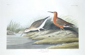 15: John James Audubon, Plate 263: Pigmy Curlew