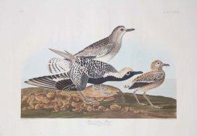 18: John James Audubon, Plate 334: Black Bellied Plover