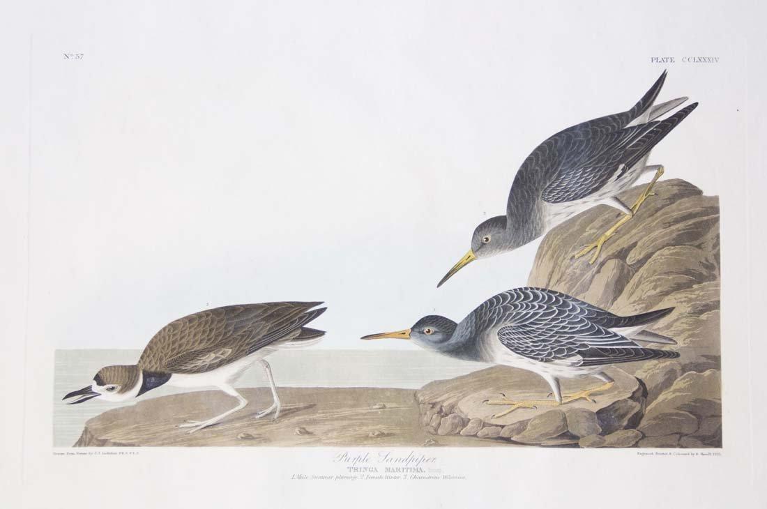 19: John James Audubon, Plate 284: Purple Sandpiper