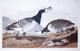 John James Audubon, Plate 296: Barnacle Goose