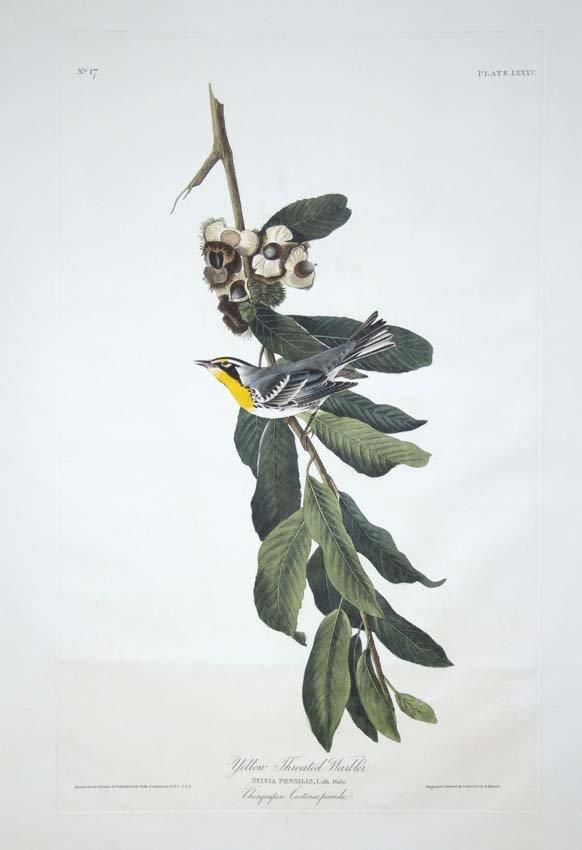 22: John James Audubon, Plate 85: Yellow Throated Warbl