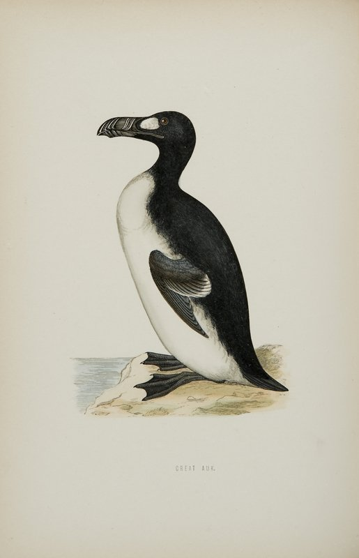 736: Ornitologia - Morris, Francis Orpen A History of B