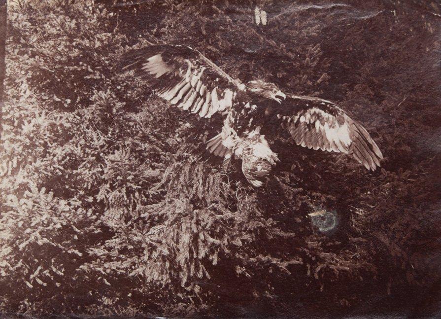 Wilhelm Von Gloeden (1856-1931) Eagle, ca. 1900