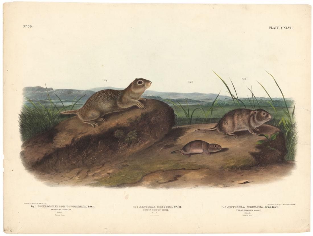 Audubon, Texan Meadow Mouse, Lithograph Imperial