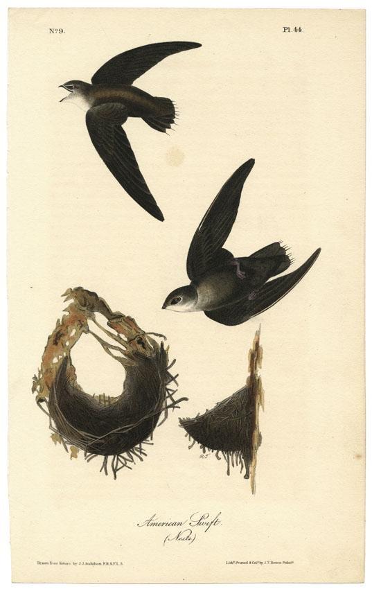 Audubon octavo, American Swift. Pl. 44, Litho
