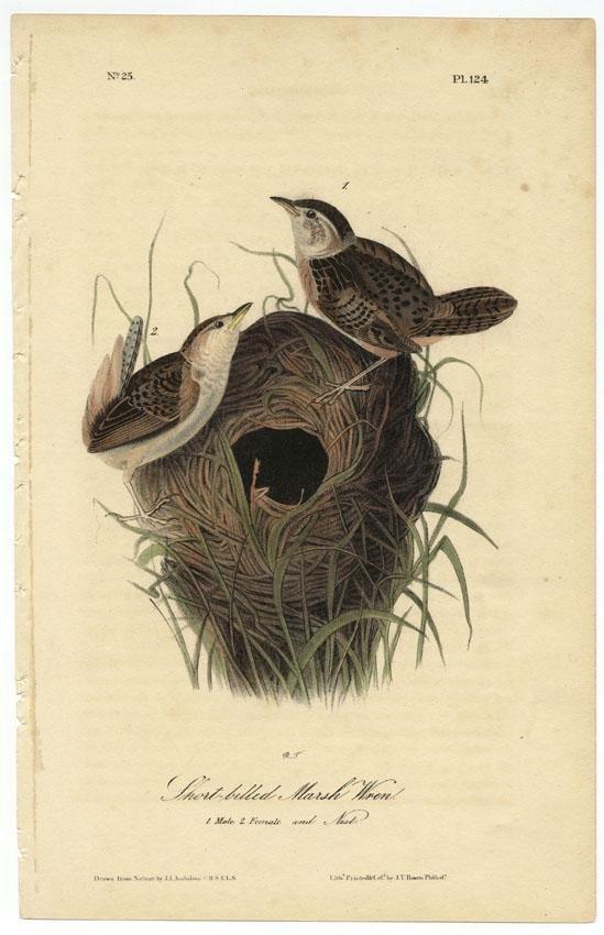 Audubon octavo, Marsh Wren. Pl. 124, Litho