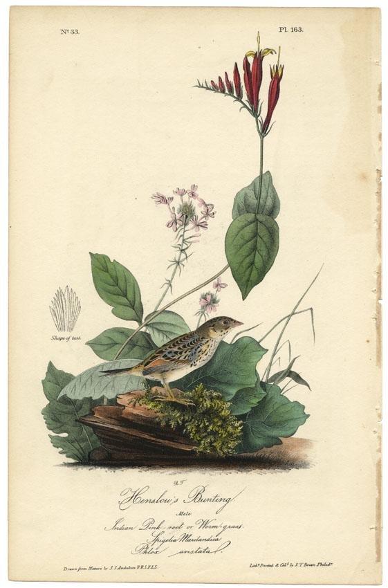 Audubon octavo, Henslow's Bunting. Pl. 163, Litho