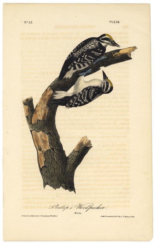 Audubon octavo, Phillip's Woodpecker. Pl. 259