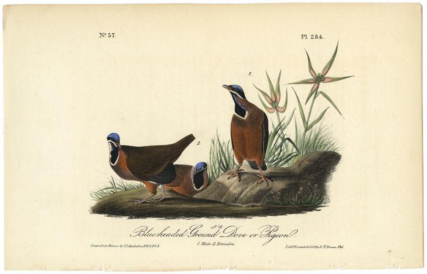 Audubon octavo, Ground Dove. Pl. 284, Litho