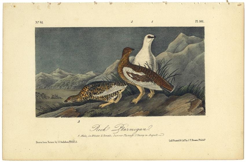 Audubon octavo, Rock Ptarmigan. Pl. 301, Litho