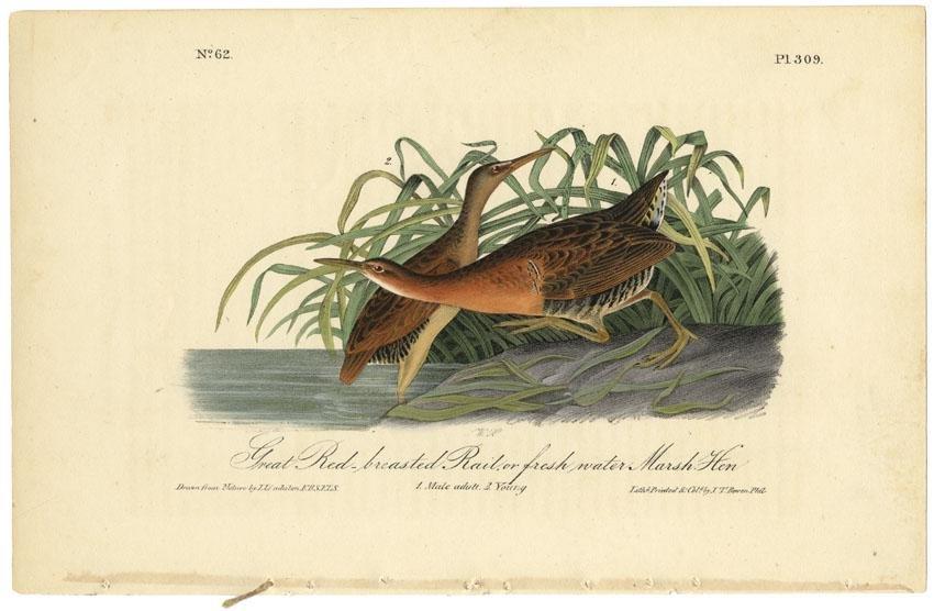 Audubon octavo, Great Red breasted Rail. Pl. 309