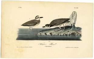 Audubon octavo Wilsons Plover Pl 319