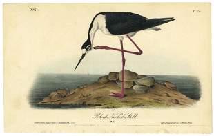 Audubon octavo Black Necked Stilt Pl 354