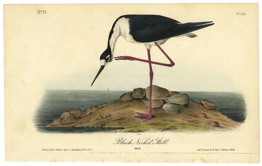 Audubon octavo, Black Necked Stilt. Pl. 354
