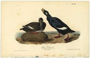 Audubon octavo Velvet Duck Pl 401 Lithograph