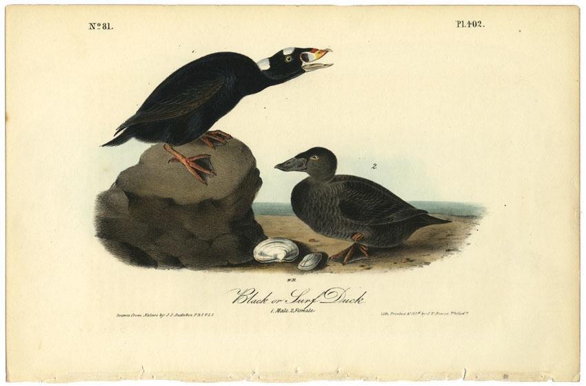 Audubon octavo, Black or Surf Duck. Pl. 402.