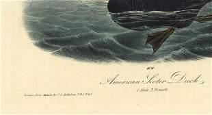 Audubon octavo American Scoter Duck Pl 403