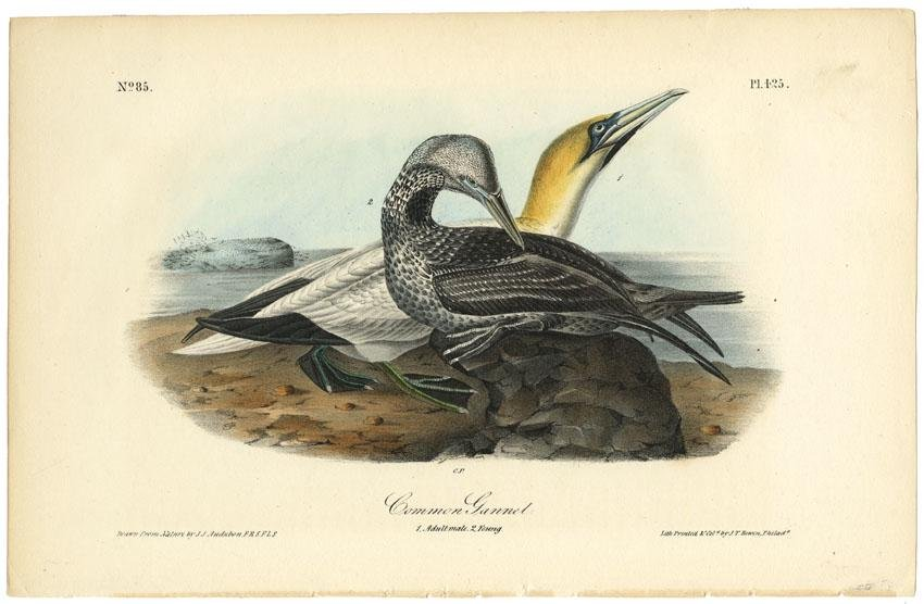 Audubon octavo, Common Gannet. Pl. 425, Litho