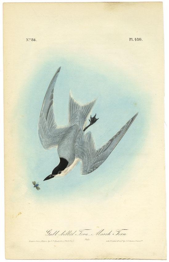 Audubon octavo, Marsh Tern. Pl. 430, Litho
