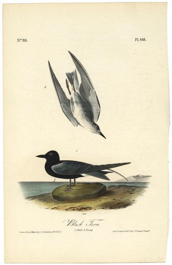 Audubon octavo, Black Tern Pl. 438, Lithograph