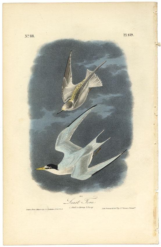 Audubon octavo, Least Tern. Pl. 439, Litho