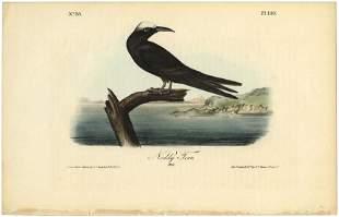 Audubon octavo Noddy Tern Pl 440 Lithograph