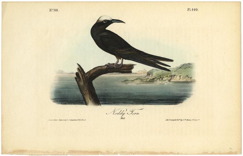 Audubon octavo, Noddy Tern. Pl. 440, Lithograph
