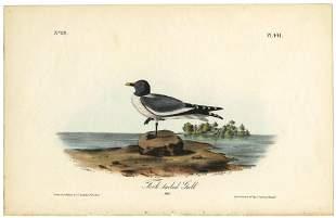 Audubon octavo Forktailed Gull Pl 441 Litho