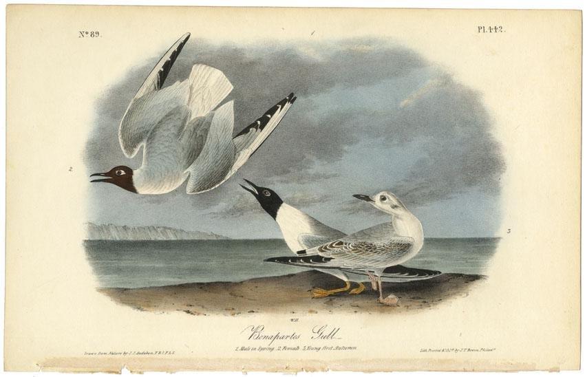 Audubon octavo, Bonapartes Gull. Plate 442