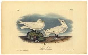Audubon octavo Ivory Gull Pl 445 Litho