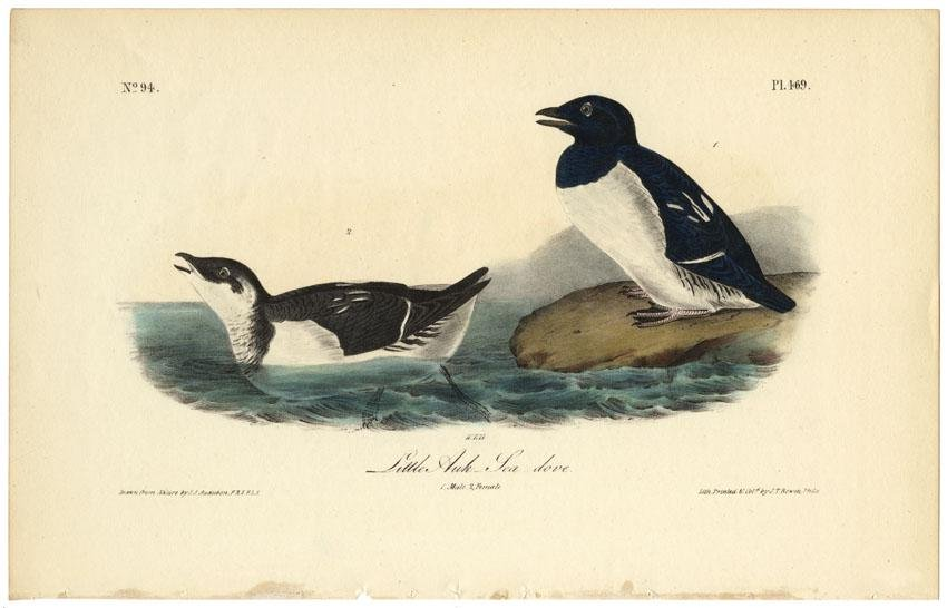 Audubon octavo, Little Auk-Sea-dove. Pl. 469