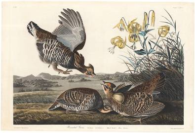 Audubon-Havell, Pinnated Grouse P. 186, Engraving