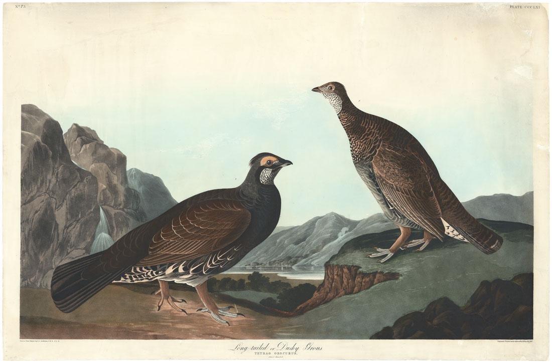 Audubon-Havell, Dusky Grous, P. 361, Engraving