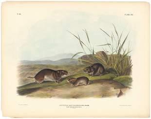 Audubon Imperial Quadrupeds Meadow Mouse Pl 115