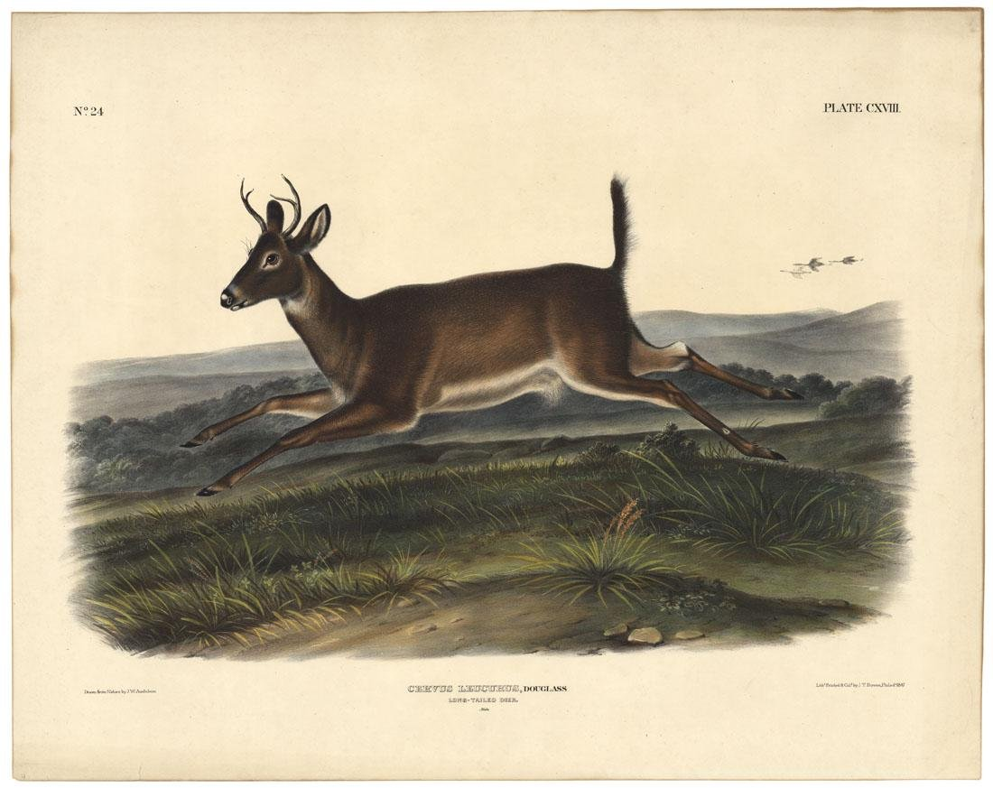 Audubon Imperial Quadrupeds, Long-Tailed Deer