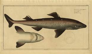 Marcus Bloch Spiny dogfish Engraving