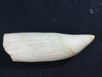 Large & Heavy Whale Tooth