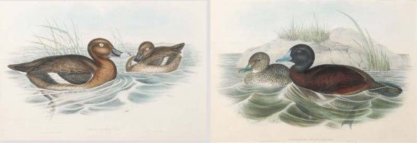 531: TWO GOULD & RICHTER LITHOGRAPHS. English, mid to l