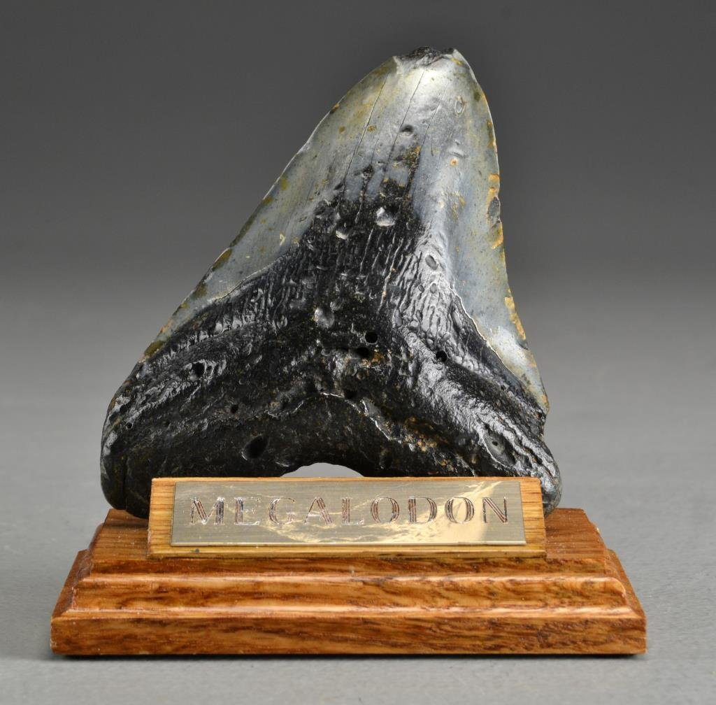 Megalodon Fossilized Shark Tooth